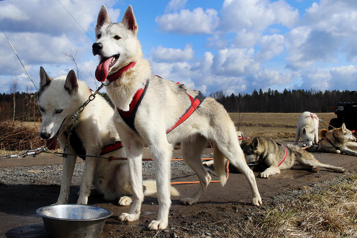 Siberian huskies – females