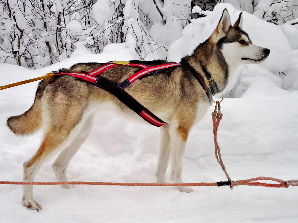 Siberian Huskies – puppies