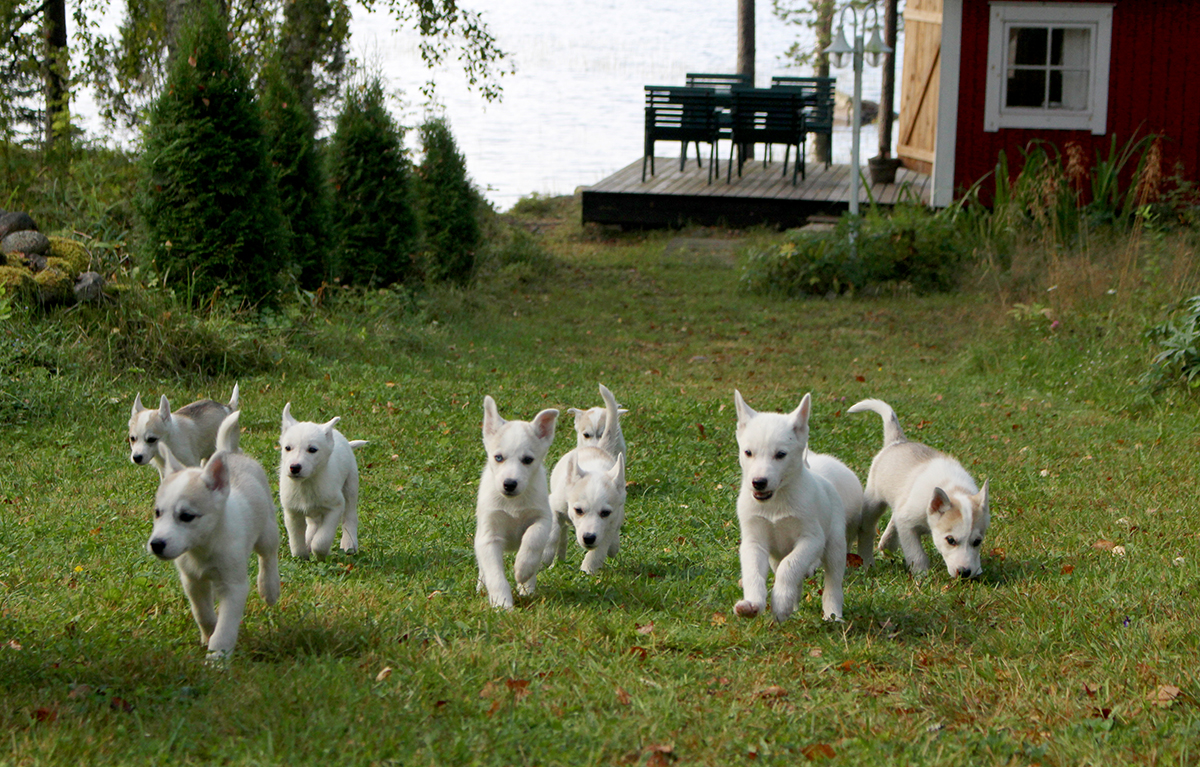 Siberian Huskies – litters