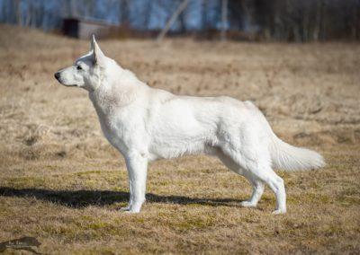 JARA (FCI stud dog)